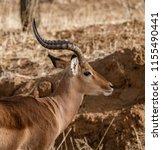 an adult male impala looks... | Shutterstock . vector #1155490441