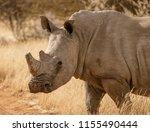 single white rhinoceros stands... | Shutterstock . vector #1155490444