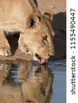 adult female lion drinks at a... | Shutterstock . vector #1155490447