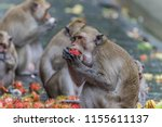 monkey or ape is the common... | Shutterstock . vector #1155611137