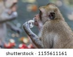 monkey or ape is the common... | Shutterstock . vector #1155611161