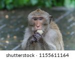 monkey or ape is the common... | Shutterstock . vector #1155611164