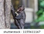 monkey or ape is the common... | Shutterstock . vector #1155611167