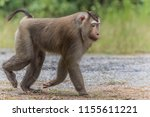 monkey or ape is the common... | Shutterstock . vector #1155611221