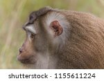 monkey or ape is the common... | Shutterstock . vector #1155611224