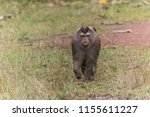 monkey or ape is the common... | Shutterstock . vector #1155611227