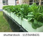 grow salad in greenhouse pure... | Shutterstock . vector #1155648631
