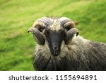 shaggy sheep portrait in the... | Shutterstock . vector #1155694891