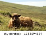 shaggy sheep portrait in the... | Shutterstock . vector #1155694894