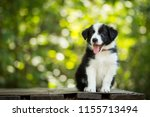 Stock photo adorable portrait of amazing healthy and happy black and white border collie puppy 1155713494