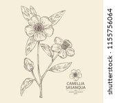 camellia sasanqua  camellia... | Shutterstock .eps vector #1155756064