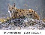 wild eurasian lynx  lynx lynx ...   Shutterstock . vector #1155786334