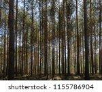 inside  pine tree forest  ... | Shutterstock . vector #1155786904