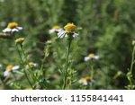 daisy flower. asteraceae  close ... | Shutterstock . vector #1155841441