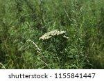 common yarrow  achillea... | Shutterstock . vector #1155841447