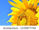 yellow sunflower with bee on... | Shutterstock . vector #1155877744