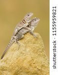"the name ""collared lizard""... 