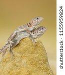 "the name ""collared lizard""... | Shutterstock . vector #1155959824"