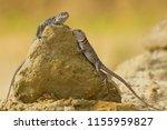 "the name ""collared lizard""... | Shutterstock . vector #1155959827"