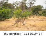 cheetah is carrying his prey at ... | Shutterstock . vector #1156019434
