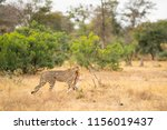 after killing his prey  the... | Shutterstock . vector #1156019437