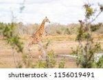 giraffe at a waterhole at... | Shutterstock . vector #1156019491