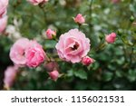 Stock photo pink roses on a green background 1156021531