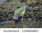 gouldian finch is drinking from ... | Shutterstock . vector #1156066801