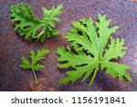 a citronella plant leaves to... | Shutterstock . vector #1156191841