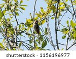 common reed bunting. cute... | Shutterstock . vector #1156196977