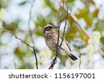 whinchat young sitting on bush. ... | Shutterstock . vector #1156197001