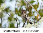 whinchat young sitting on bush. ... | Shutterstock . vector #1156197004