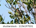 common reed bunting. cute... | Shutterstock . vector #1156197031