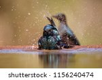 Cape Glosy Starling Bathing In...