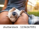 Stock photo young small cute yellow labrador retriever dog puppy pet sleeping outdoors on female legs 1156267051