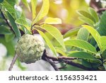 custard apple or sugar apple is ... | Shutterstock . vector #1156353421