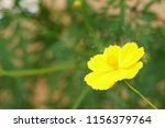 yellow cosmos or cosmos... | Shutterstock . vector #1156379764