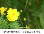 yellow cosmos or cosmos... | Shutterstock . vector #1156385791
