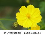 yellow cosmos or cosmos... | Shutterstock . vector #1156388167