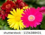 pink gerbera flower in front of ... | Shutterstock . vector #1156388431