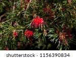 dainty small red grevillea... | Shutterstock . vector #1156390834