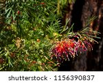 dainty small red grevillea... | Shutterstock . vector #1156390837