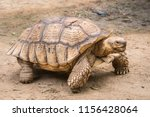 Stock photo galapagos tortoise in motion be an animal living in the galapagos islands 1156428064