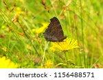 brown butterfly on elecampane... | Shutterstock . vector #1156488571