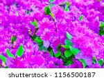 closeup of azalea bush in... | Shutterstock . vector #1156500187