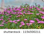 closeup of pink hardy ice plant.... | Shutterstock . vector #1156500211