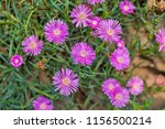 closeup of pink hardy ice plant.... | Shutterstock . vector #1156500214