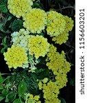 yellow flowers in the dark | Shutterstock . vector #1156603201