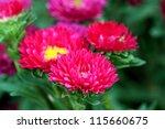 Aster Autumn Flowers - stock photo