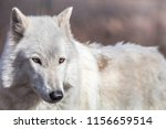 White Arctic Wolf  Canis Lupus...